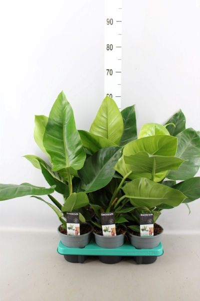 <h4>Philodendron  'Imperial Green'</h4>