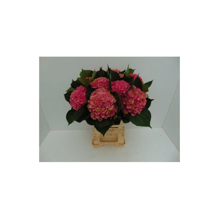 <h4>Hydr M Mag Amethyst Rose-groen</h4>