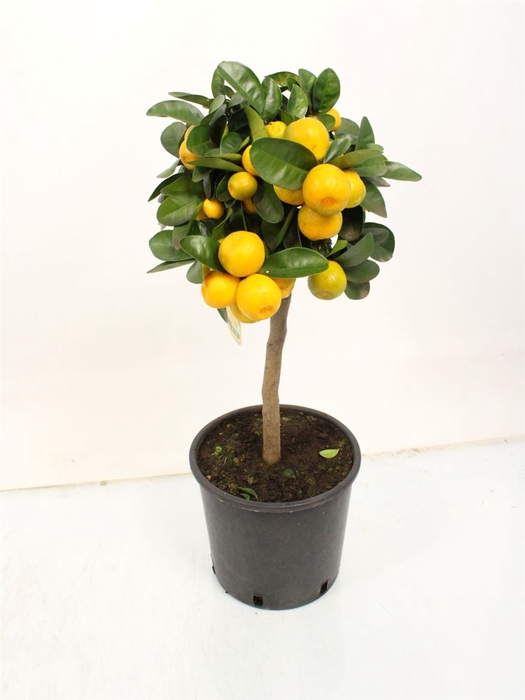 <h4>Citrus Obovata Stem</h4>