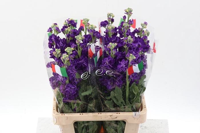 <h4>Matth Phantom  Purple ( C )</h4>