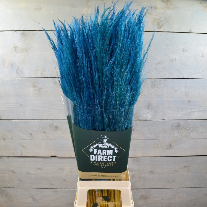 <h4>PAMPAS BLUE DRIED</h4>