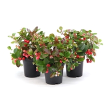 <h4>Gaultheria Procumbens Big Berry</h4>