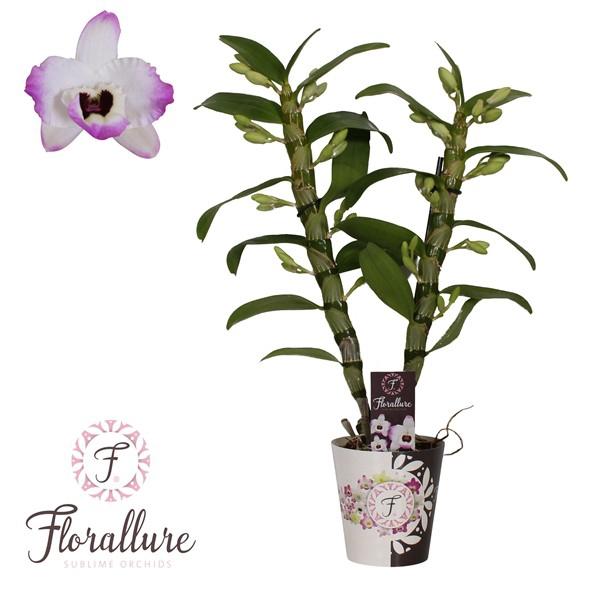 <h4>Dendrobium nobile Star Class Lucky Bird</h4>
