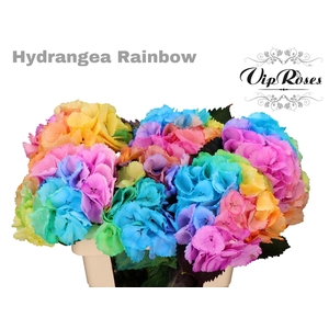 HYDR M RAINBOW 70 CM
