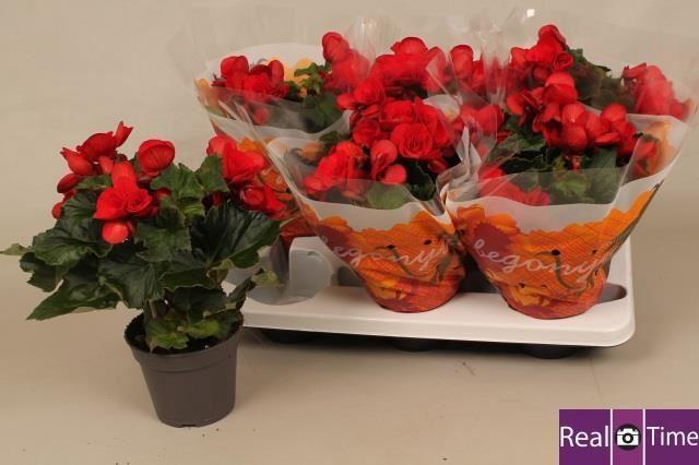 <h4>Begonia Elat. Baladin</h4>