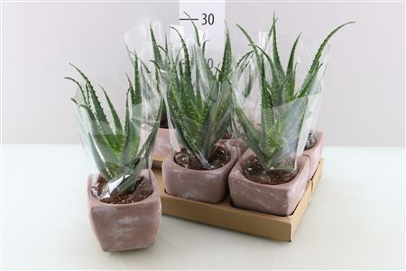 <h4>Aloe Arborescens Keramiek</h4>