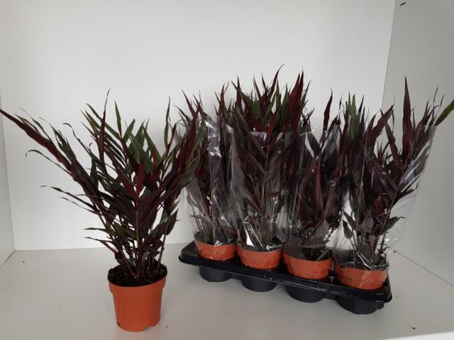 <h4>Zingiber Officinalis 13Ø 55cm</h4>