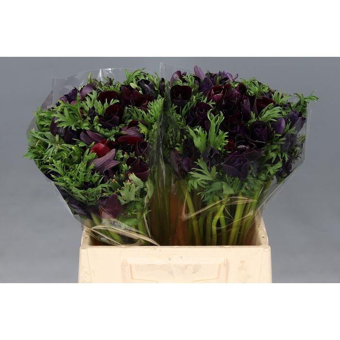 <h4>Anemone Mistral Plus Zwart Extra</h4>