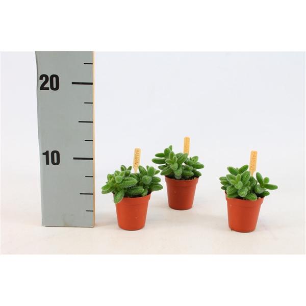 <h4>Delosperma echinatum 5,5 cm</h4>