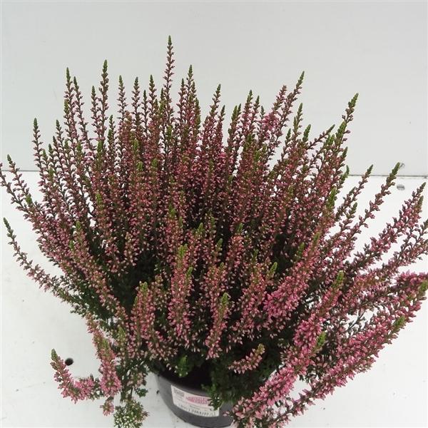 <h4>Calluna vulgaris Garden Girls 'Rosita'</h4>