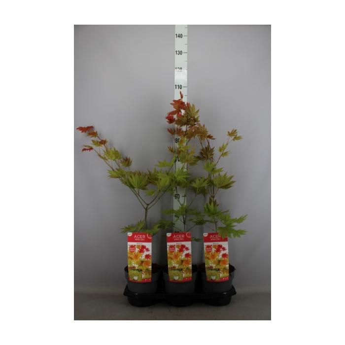 <h4>Acer shirasawanum</h4>