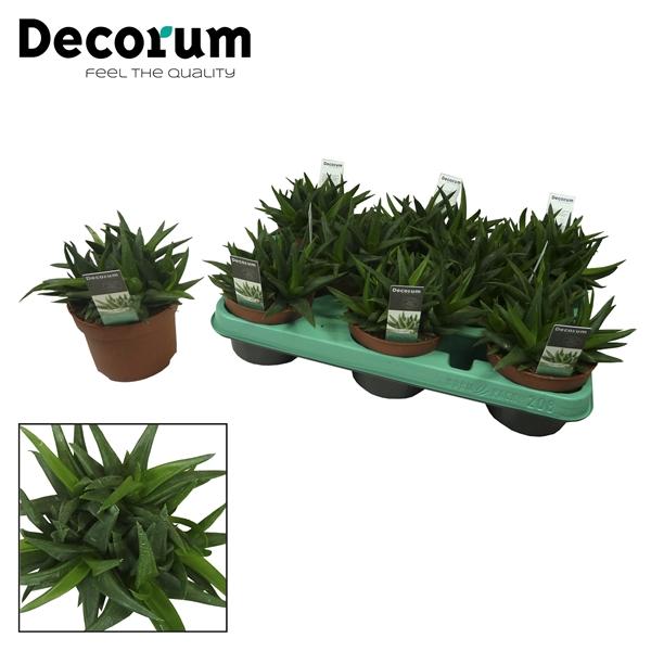 <h4>Aloe 'Black Gem' (Decorum)</h4>