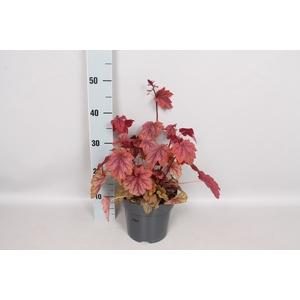 vaste planten 19 cm  Heuchera americana Melting fire
