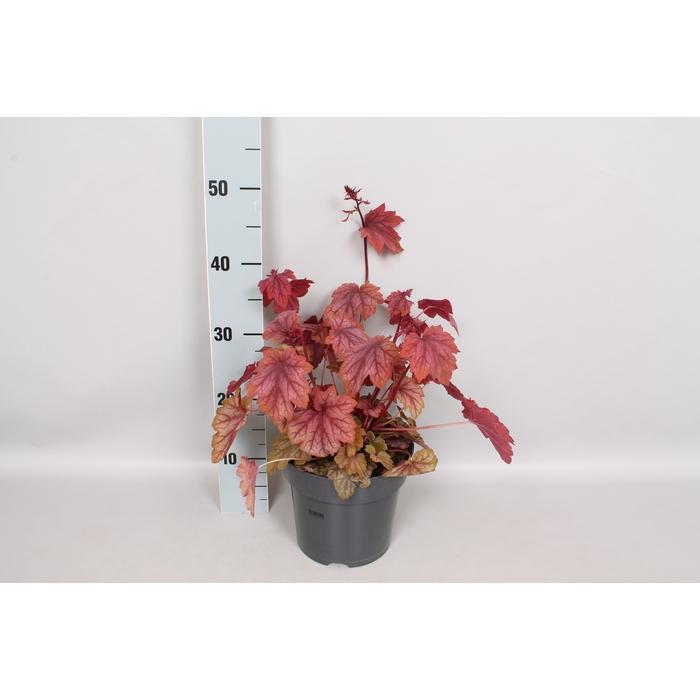 <h4>vaste planten 19 cm  Heuchera americana Melting fire</h4>