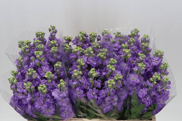 <h4>Violier Mathilda Lavender</h4>