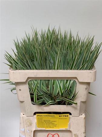 <h4>Carex Ph Sparkler</h4>