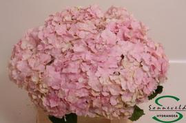 <h4>Hortensia Hyd. Verena Pink</h4>
