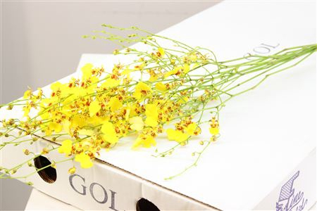 <h4>Dendrobium Oncidium</h4>