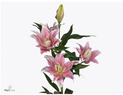 <h4>Lilium Oriental Roselily Isabella</h4>