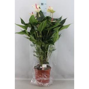 Anthurium andr. 'Special Love'