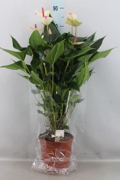 <h4>Anthurium andr. 'Special Love'</h4>