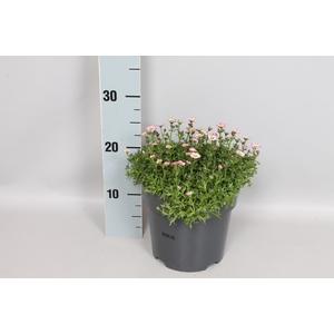 vaste planten 19 cm  Saxifraga Rose