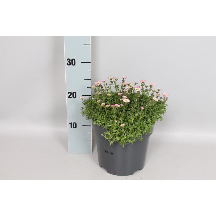 <h4>vaste planten 19 cm  Saxifraga Rose</h4>