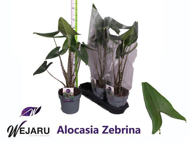 Alocasia Zebrina 19Ø 75cm