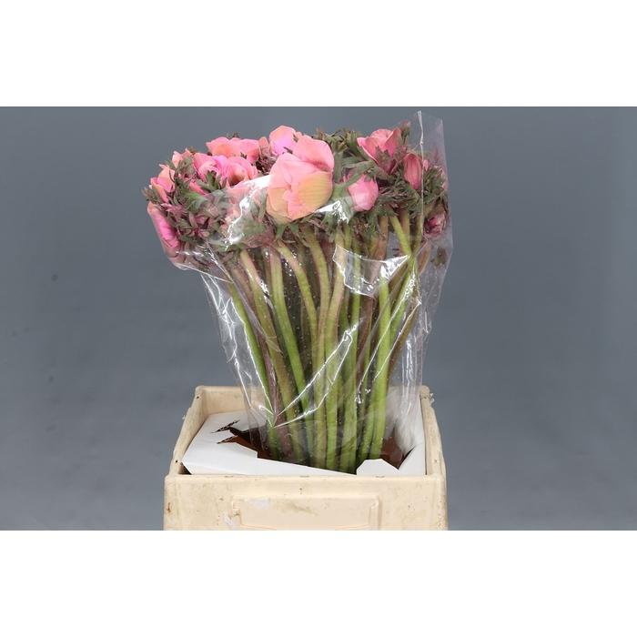 <h4>Anemone Powder Mistral Rose</h4>