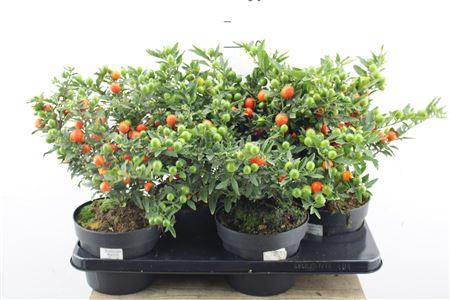 <h4>Solanum Bartoli Bes</h4>