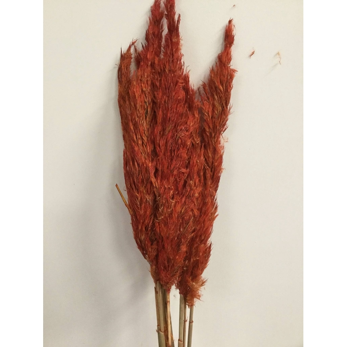 <h4>DRIED FLOWERS - WILDE RIETPLUIMEN 75CM RED 10PCS</h4>