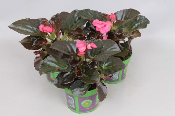 <h4>Begonia Big bronze leaf Rose</h4>