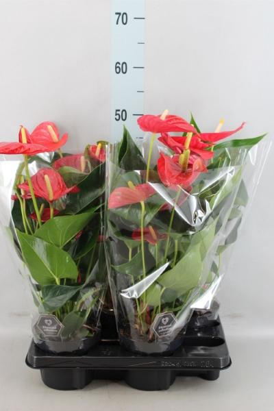 <h4>Anthurium andr.   ...</h4>