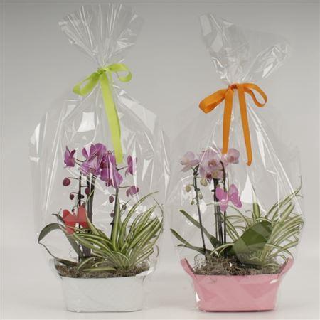 <h4>Phalaenopsis Duoboga Gemengd In Zink Plantenschaal</h4>