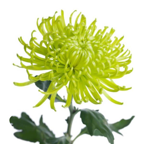 <h4>Chrysanthemum monoflor BICOLOR</h4>