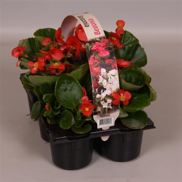 <h4>Begonia Semperflorens groenbladig rood 6p</h4>