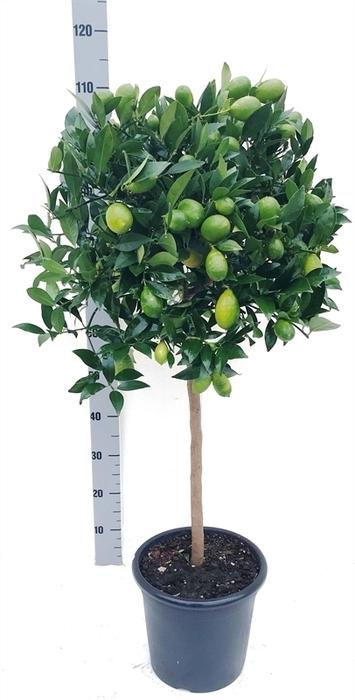 <h4>Citrofortunella floridana</h4>