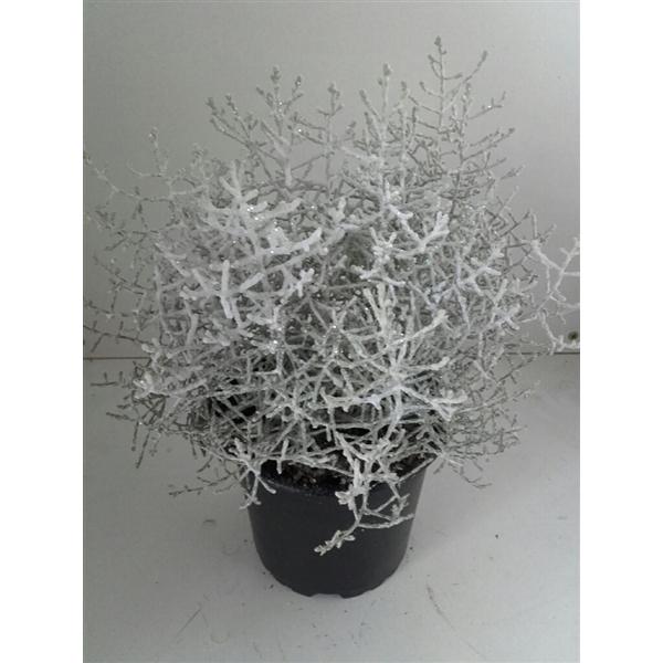 <h4>Calocephalus met sneeuw en glitter</h4>