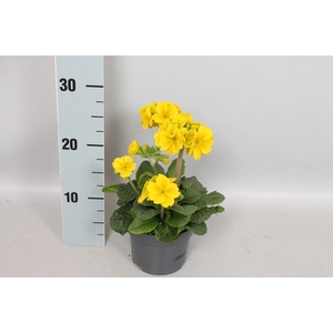 Primula elatior Crescendo 13cm Yellow