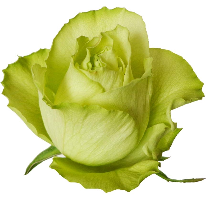 <h4>Rosa gr Lemonade (Nevado)</h4>