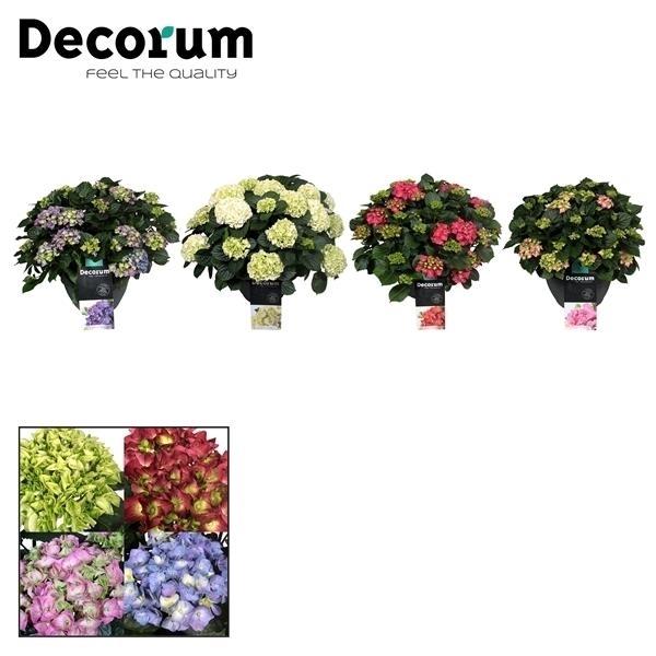 <h4>Hydrangea schaal diverse kleuren per kar (Decorum)</h4>