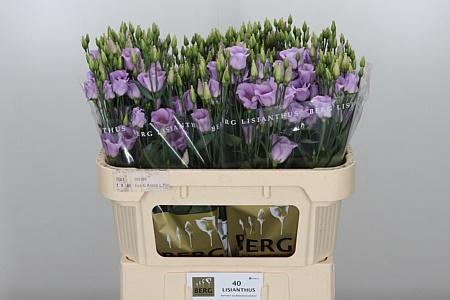 <h4>Eust E Piccolo Lavender</h4>