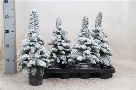 <h4>Sneeuwboom Parafine</h4>