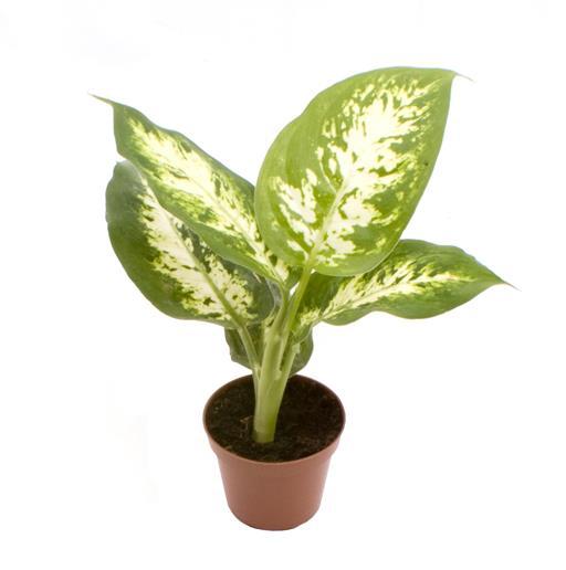 <h4>Dieffenbachia Maculata Compacta 6Ø 15cm</h4>