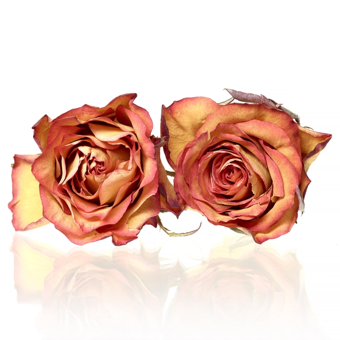 <h4>Rose High&Magic orange/yellow 4,5-5cm</h4>