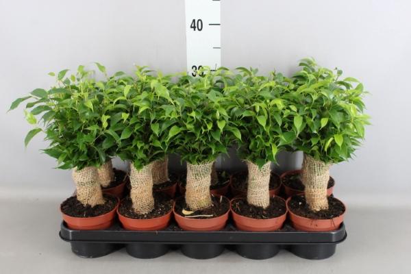 <h4>Ficus benja. 'Natasja'</h4>