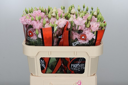 <h4>Eust G Corelli Light Pink</h4>