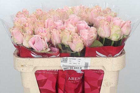 <h4>R Gr Pink Avalanche</h4>