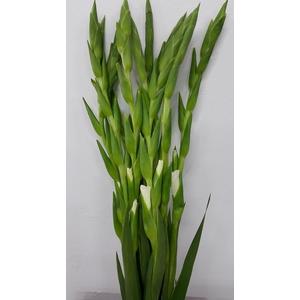 Gladioli White