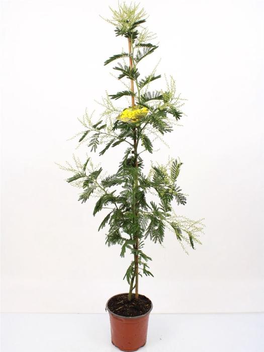 <h4>Acacia Mimosa Daelbata On Stick</h4>